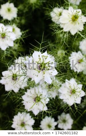 White love in a mist - nigella - flowers  Stock photo © sarahdoow