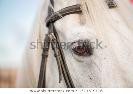 Right eye and mane of white purebred racehorse with bridles on muzzle Stock photo © pressmaster