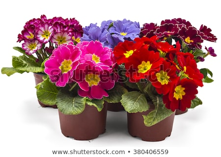 Isolated pink primrose flower in a flowerpot Stock photo © manfredxy