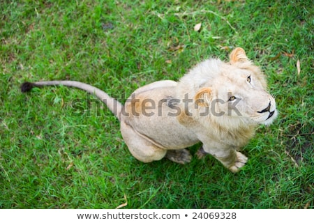 Leeuw boven safari permanente top rock Stockfoto © orla