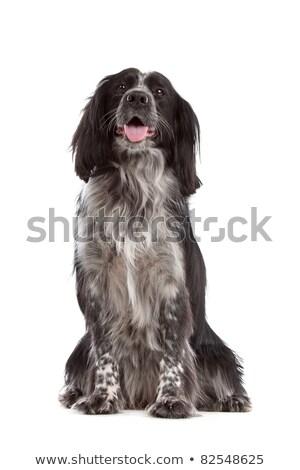 Mista razza cane Foto d'archivio © eriklam