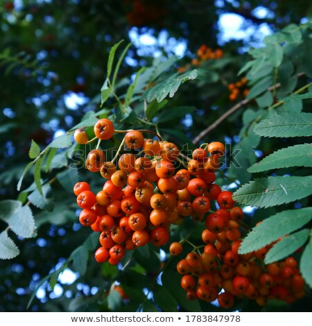 rowanberry Stock photo © grafvision