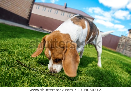 Dog sniffing grass Stock photo © AlessandroZocc