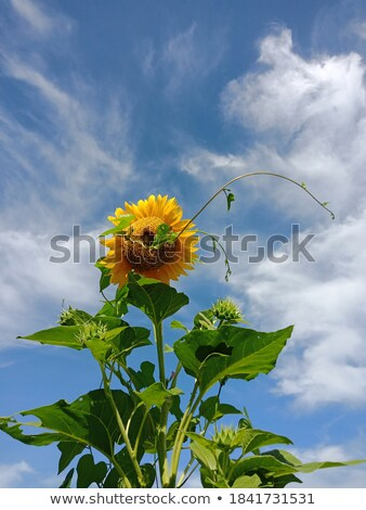 Stock photo: sunflower under a blue sky