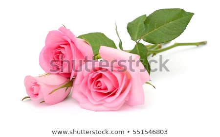 pink rose with path Stock photo © ssuaphoto