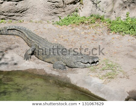 Alligator ready to look for something to eat Stock photo © dacasdo