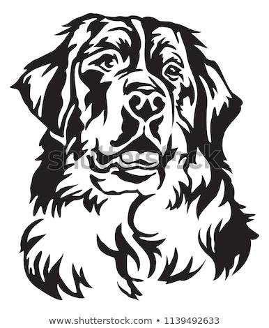 Berneński pies pasterski portret dorosły głowie szczęśliwy Zdjęcia stock © photocreo