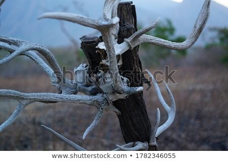 Skull buffalo hang on tree Stock photo © stoonn