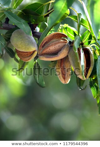 Almond Ready to Pick stock photo © TheFull360