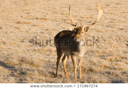 Beautiful Engaged Wildlife Young Male Buck Deer Antlers Horns Stock photo © cboswell