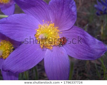 vermelho · joaninha · flores · amarelas · isolado · verão · tempo - foto stock © mady70