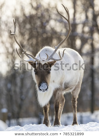 Young Caribou head Stock photo © bobkeenan