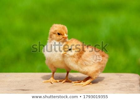 Paskalya · civciv · kırık · yumurta · sarı · karikatür - stok fotoğraf © carbouval