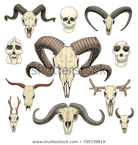 sketch bull goat and ram head in vintage style stock photo © kali