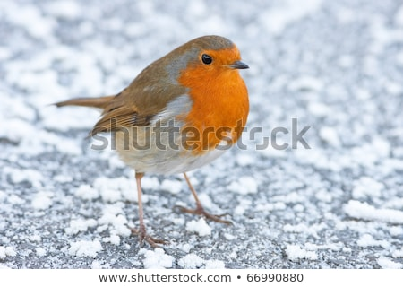 christmas winter robin alert on snowy ground stock photo © rekemp