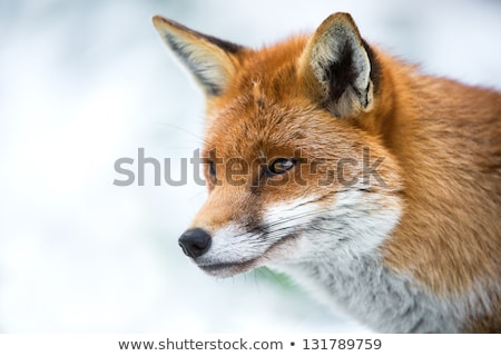 rouge · Fox · tête · épaules · visage - photo stock © rekemp