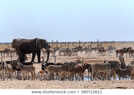 crowded waterhole with Elephants, zebras, springbok and orix Stock photo © artush