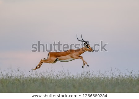impala and gazelle in the park stock photo © mariusz_prusaczyk