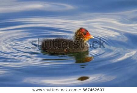 Eurasian or common coot, fulicula atra, duckling Stock photo © Elenarts