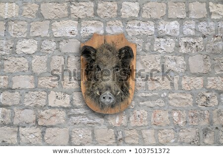Stuffed wild boar head on a wall Stock photo © Digifoodstock