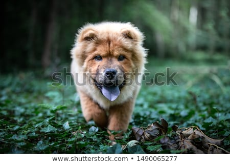 fluffy dog breeds Chow Chow black walks in the summer.  Stock photo © goroshnikova