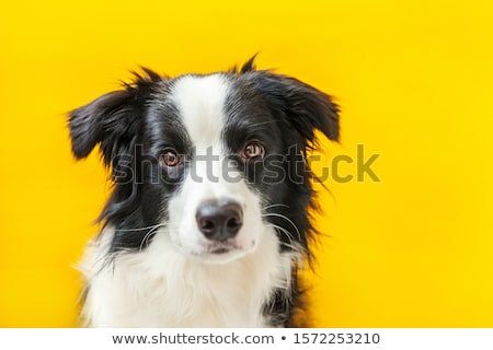 Psa studio posiedzenia piłka szczęśliwy portret Zdjęcia stock © vauvau