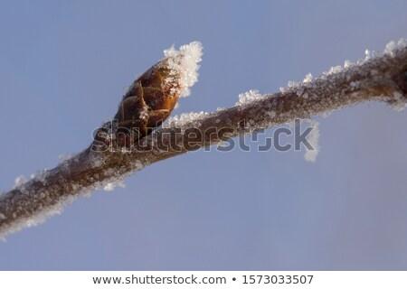 fagyott · virág · közelkép · természet · jég · növény - stock fotó © manfredxy