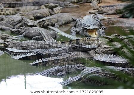 группа Крокодилы озеро зеленый слизь лет Сток-фото © Mikko