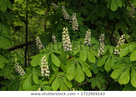 Spring twigs of horse chestnut tree with young leaves Stock photo © BSANI