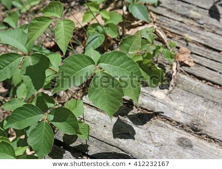 Birkaç zehir sarmaşık yaprak yeşil Stok fotoğraf © ca2hill