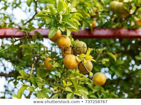 gyümölcsfa · japán · keserű · narancs · citrus · fa - stock fotó © suljo