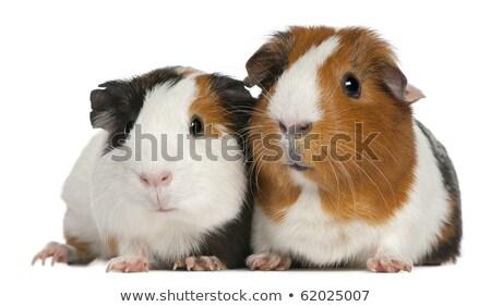 three cute furry guinea pigs lying Stock photo © feedough