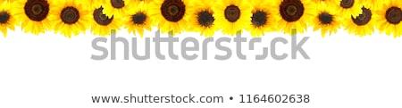 zonnebloemen · grens · witte · bloem · tuin · zomer - stockfoto © bozena_fulawka