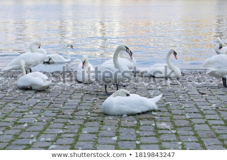 Flock of swans in Prague Stock photo © Givaga