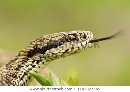 Makro portret rzadki łące węża głowie Zdjęcia stock © taviphoto