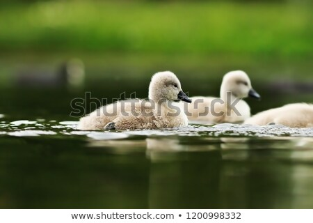 swan youngsters on lake surface stock photo © taviphoto