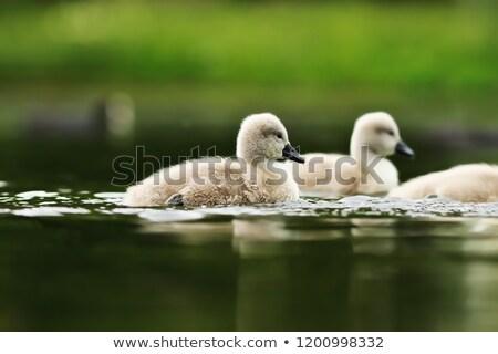 łabędź młodzież jezioro powierzchnia wyciszyć charakter Zdjęcia stock © taviphoto