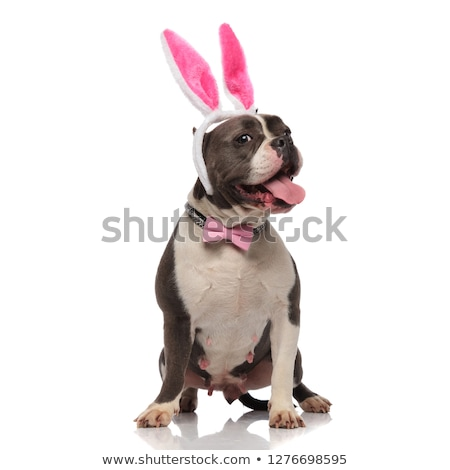 stylish american bully with easter bunny ears pants and stretche stock photo © feedough