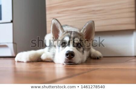 ハスキー ホーム 階 ライフスタイル 犬 眼 ストックフォト © Lopolo