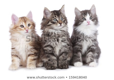 black tabby with white Norwegian Forest cat  Stock photo © CatchyImages