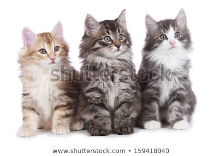 negro · blanco · noruego · forestales · gato · guapo - foto stock © CatchyImages