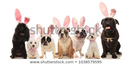 szczeniąt · biały · berneński · pies · pasterski · mieszany - zdjęcia stock © feedough