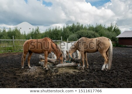 three young purebred mares standing by wooden trough and eating at rancho stock photo © pressmaster