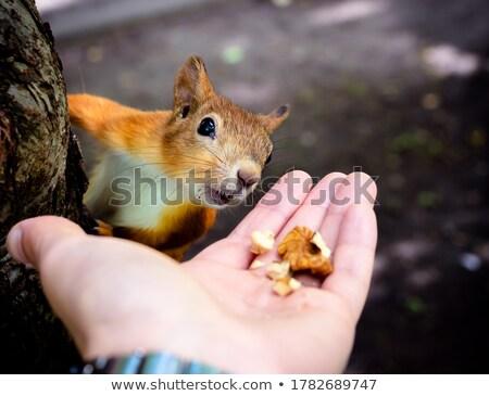 Eekhoorn najaar park hand man Stockfoto © galitskaya
