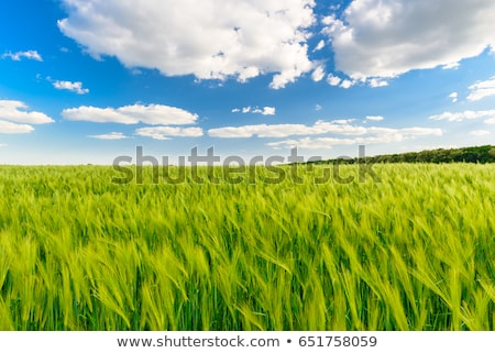 full frame wheat field Stock photo © prill
