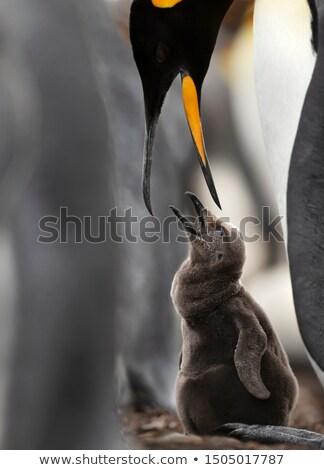 царя · пингвин · пляж · точки · Фолклендские · острова - Сток-фото © kwest
