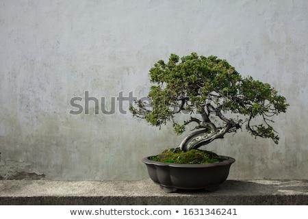Bonsai fehér fa közelkép izolált zöld Stock fotó © smithore