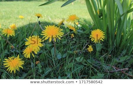 pitypang · csoport · csoportok · pitypangok · fű · természet - stock fotó © boroda