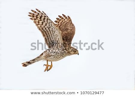 Hawk on white Stock photo © stevemc
