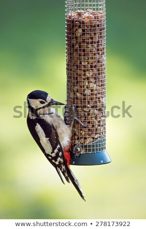 Great Spotted Woodpecker (Dendrocopos major) feeding from a garden bird feeder. Stock photo © latent